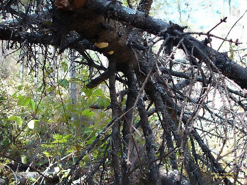 В Вологодской области погиб пассажир трактора: на него упало дерево