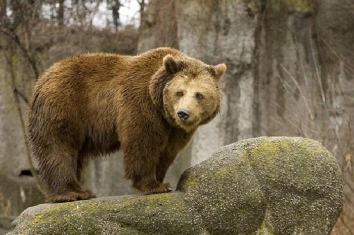 Вологжан предостерегают от употребления в пищу мяса медведей