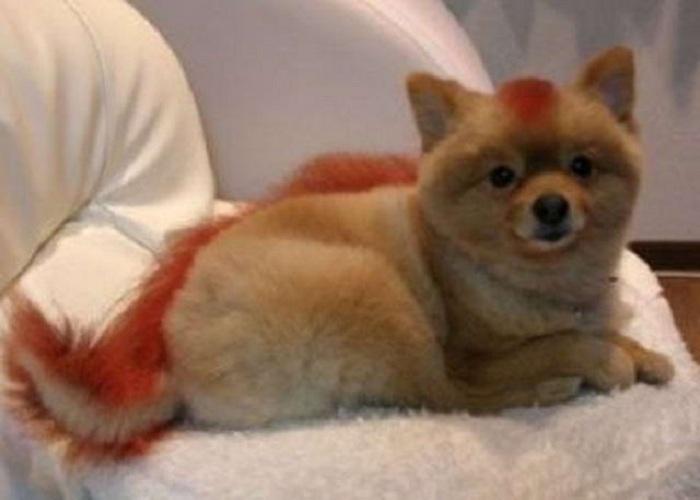 Крашенного щенка в Вологде продали как шпица