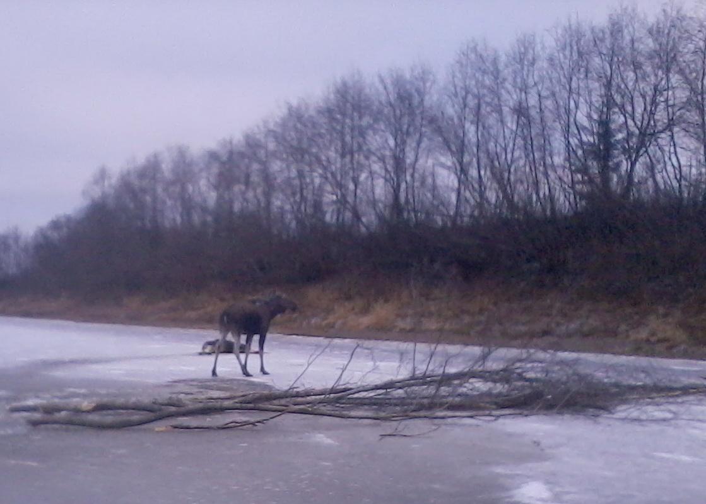 В Вологодском районе переходивший реку лось провалился под лед