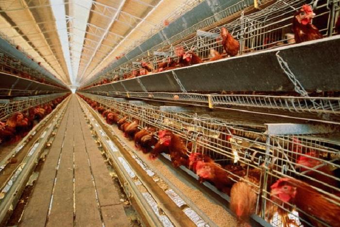 Способы вывода вологодского птицеводство из кризиса должны определить до конца этого года
