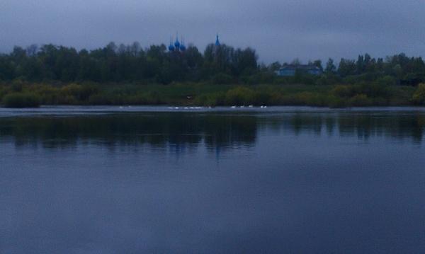 14 лебедей на реке Мологе в Устюжне