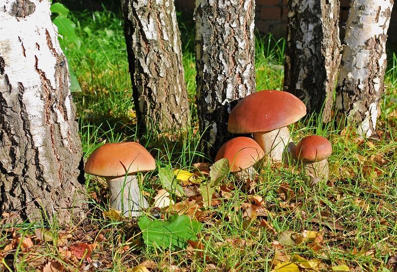 Роспотребнадзор нашел в вологодских грибах мышьяк и кадмий