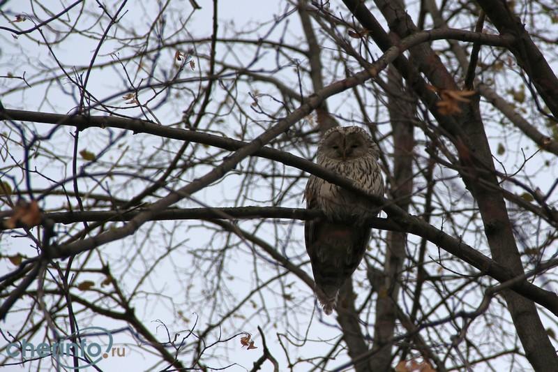 Вороны «донимают» лесную сову в центре Череповца