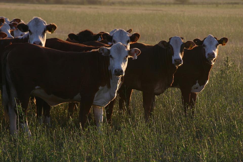 В четырех районах Вологодской области за год уменьшилось поголовье коров