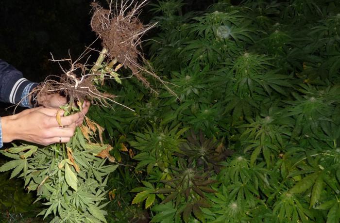 В Сокольском районе нашли плантацию марихуаны