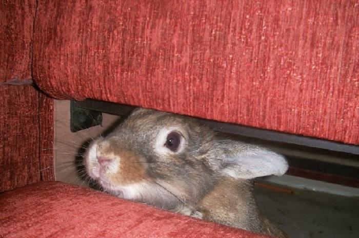 """В Вологодской области вылезший из-под дивана кролик """"выдал"""" своего похитителя полицейским"""