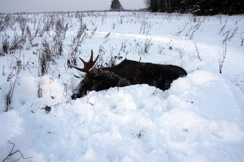 Череповецкие полицейские разыскивали в лесу останки лося