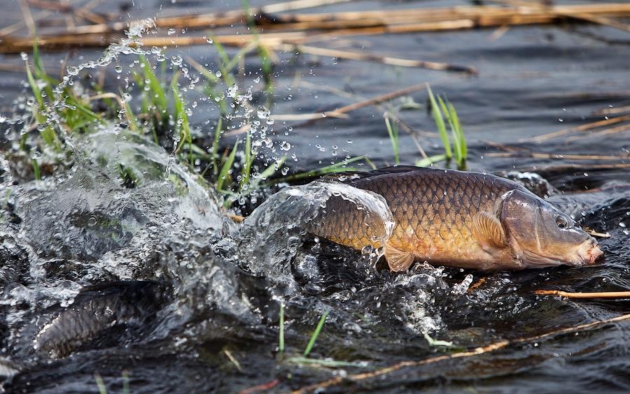 Вологжанин случайно уничтожил нерестилище рыбы на Сиверском озере