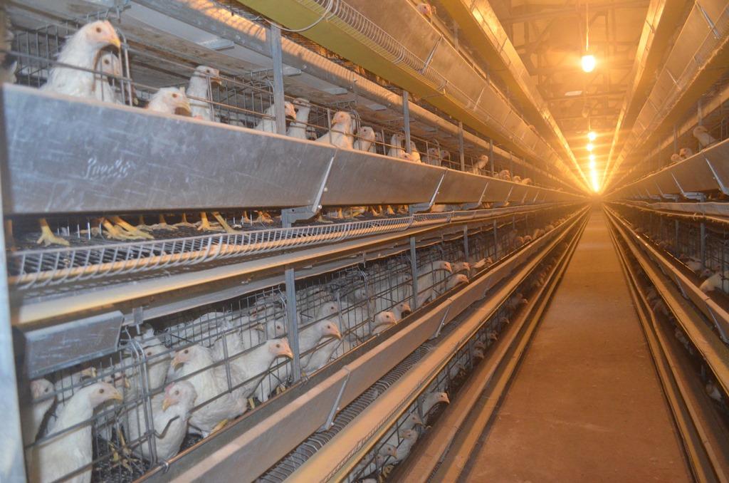 Вологодские птицефабрики рискуют остаться без газа