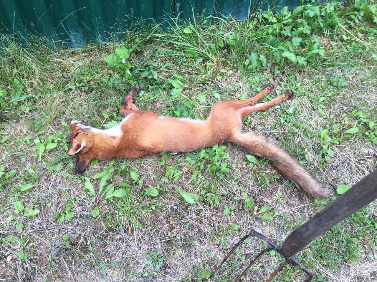 В Сокольском районе лиса, передушив куриц, напала на кавказскую овчарку
