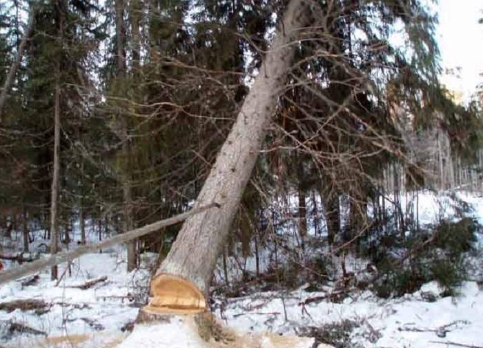 Жителя Украины насмерть придавило деревом в вологодском лесу
