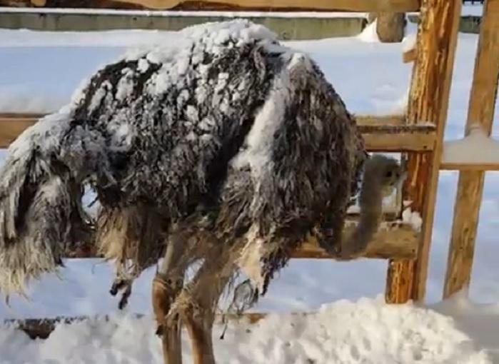 """Заиндевевшего в череповецком зоопарке """"Лукоморье"""" страуса и кроликов решили содержать в тепле"""