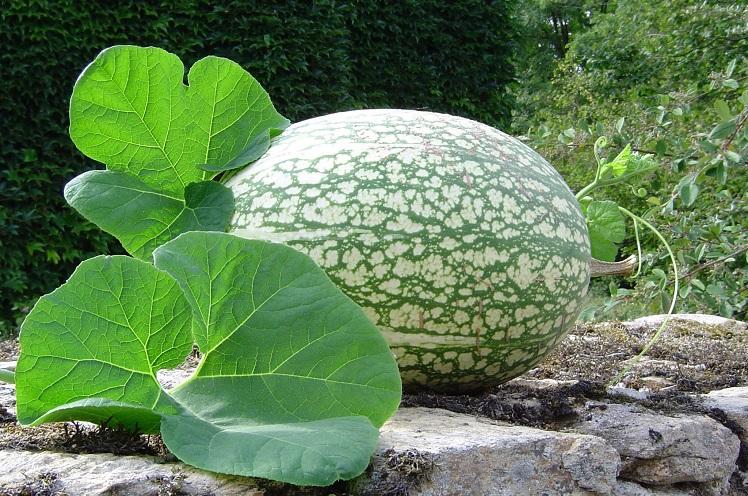 В Кадуйском районе выращивают кабачок-арбуз и малину со спичечный коробок