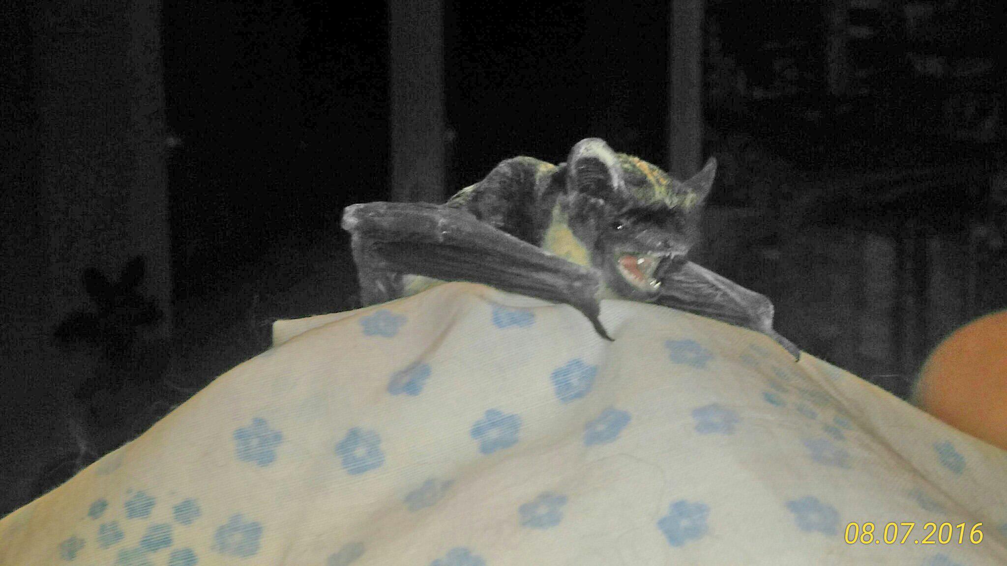 «Маленький Бэтмен»: в квартиру к череповчанке залетела летучая мышь