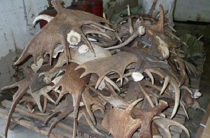80 килограммов рогов украл вологжанин у своего работодателя