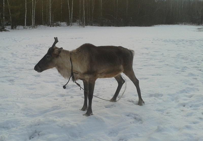 Из уральской резиденции Деда Мороза украли северного оленя