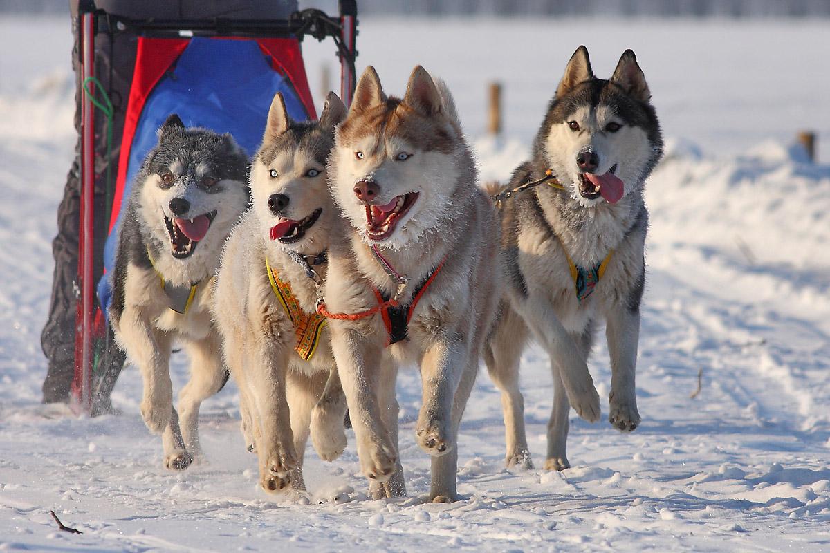 В Масленицу вологжане смогут прокатиться на собачьих упряжках