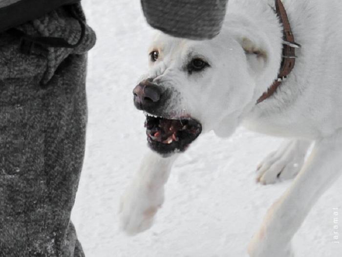 За собак, которые загрызли сторожа свинофермы в Вологодском районе, ответит начальник охраны цеха