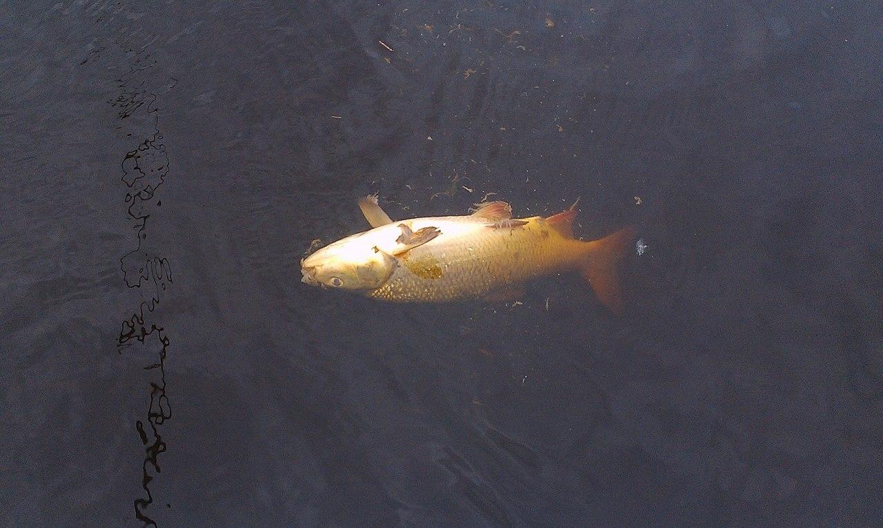Источником загрязнения, из-за которого погибла рыба в вологодских реках, могла стать свиноферма