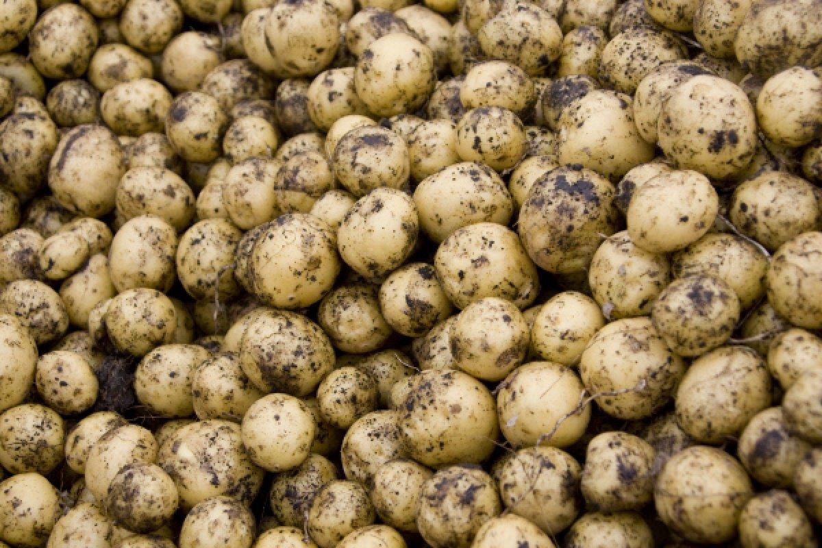 В Харовском районе пожар и мороз уничтожили 200 тонн картофеля