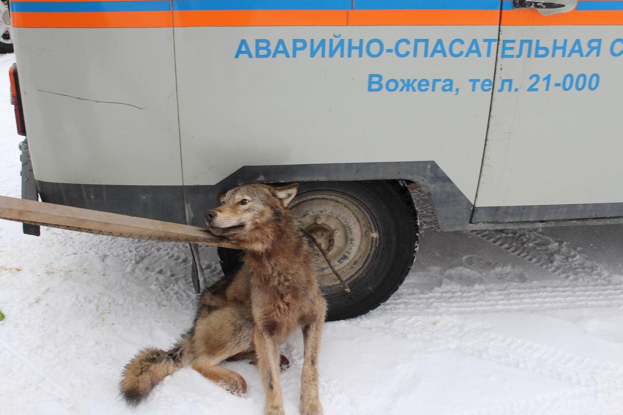 Дикая волчица в поселке Вожега пробралась во двор жилого дома и укусила хозяина