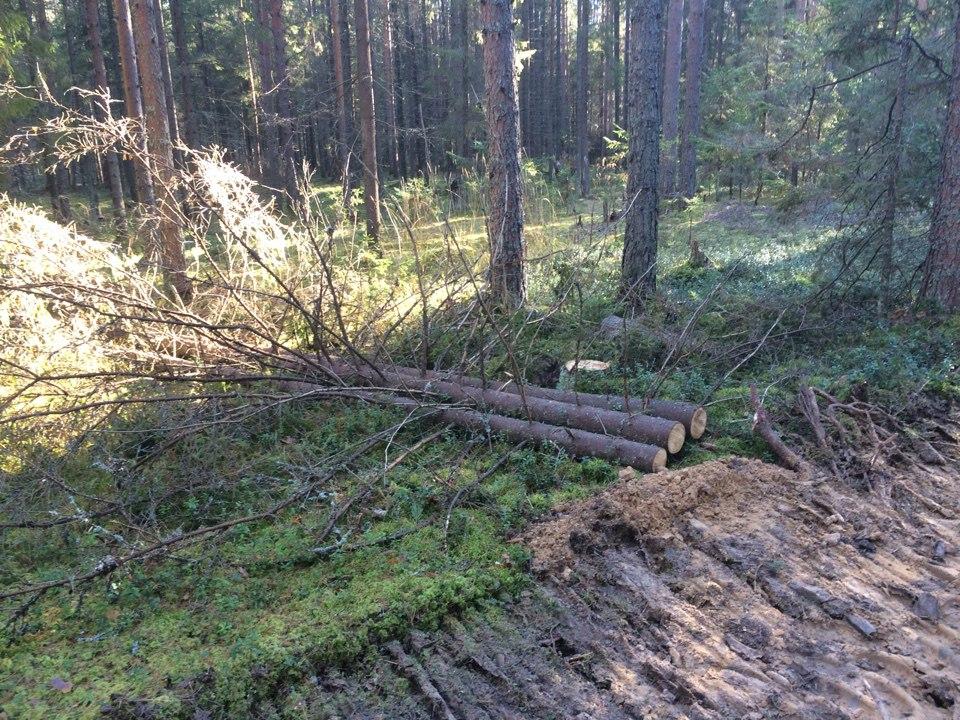 """В Сокольском районе вырубают сосновый бор для """"оздоровления леса"""""""