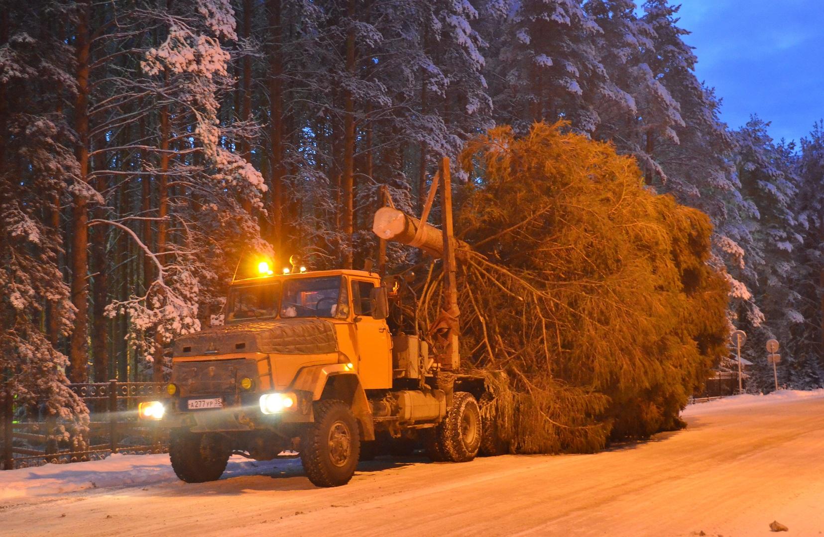 Из Великого Устюга в Крым отправили 100-летнюю новогоднюю ель