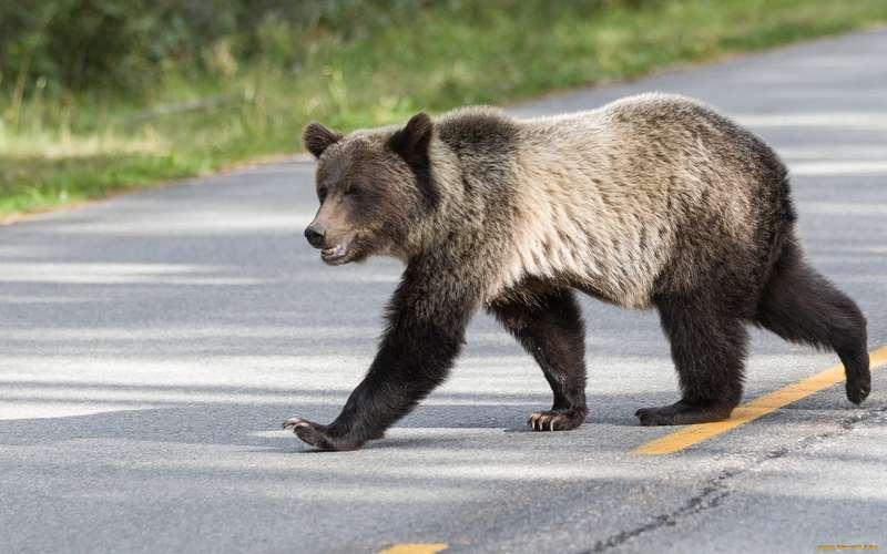 Голодные медведи выходят из леса в деревни Череповецкого района