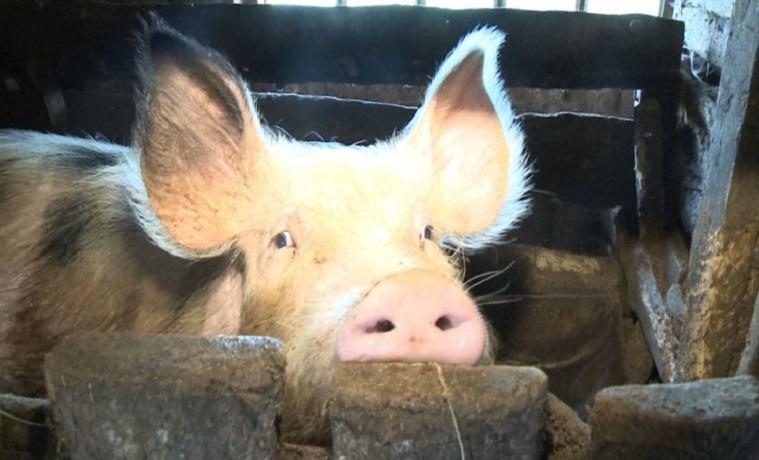 Вологодская область отправила партию племенных свиней в Армению