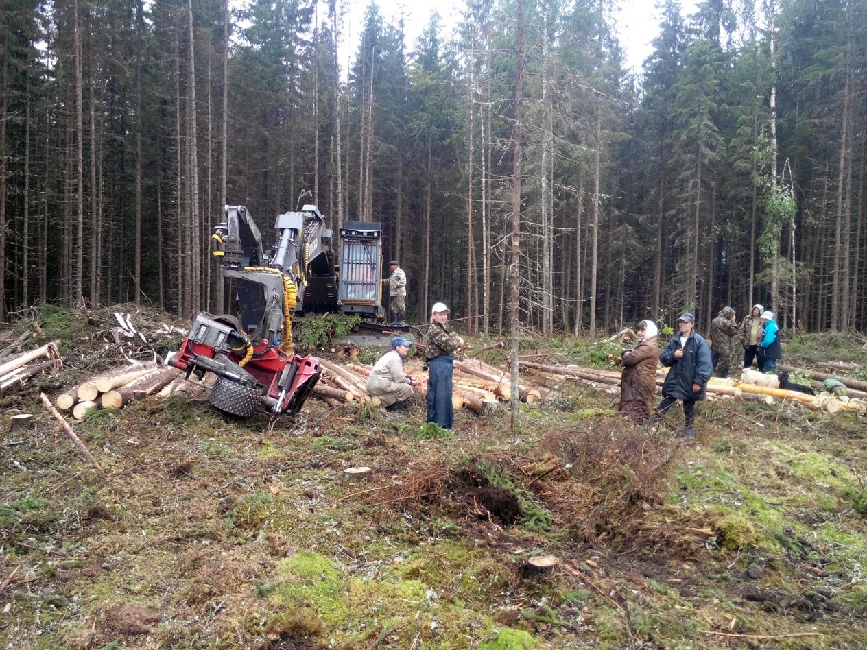 В Усть-Кубинском районе, чтобы пасти коров, вырубают лес, где живут зубры
