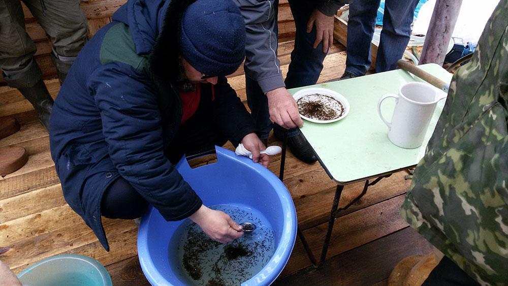 В Белое озеро выпустили более 700 тысяч личинок щуки