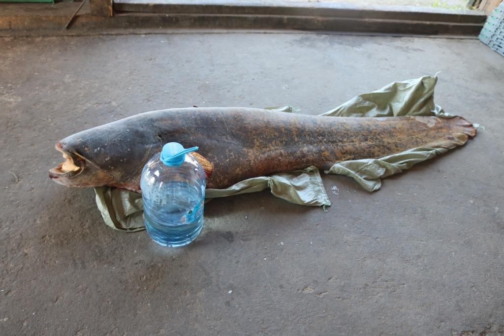 В Белом озере выловили сома длиной 1,7 метра