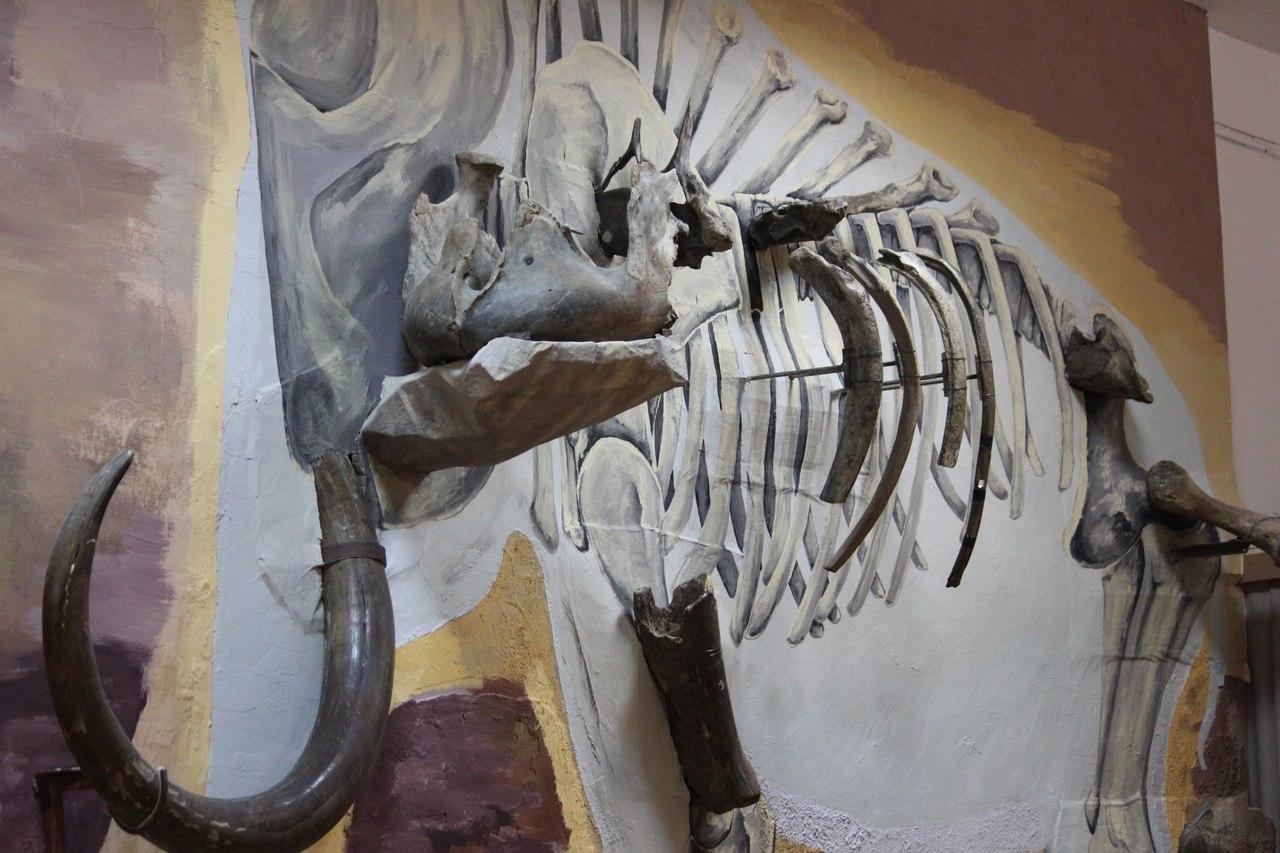 Инсталляция с костями мамонта, жившего 11 тысяч лет назад, открылась в Музее природы Череповца