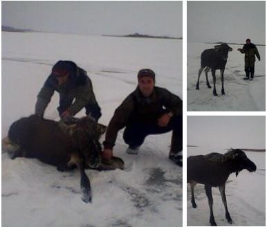 Сотрудники Дарвинского заповедника спасли провалившегося под лед лосёнка
