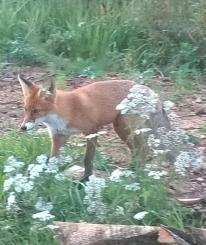 В Устюжне хозяйничают лисы: одна из них утащила кота