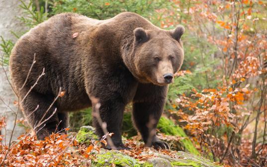 В Грязовецком районе медведь убил охотника