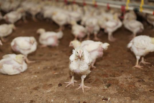 Работникам Шекснинской птицефабрики выплатили долги по зарплате