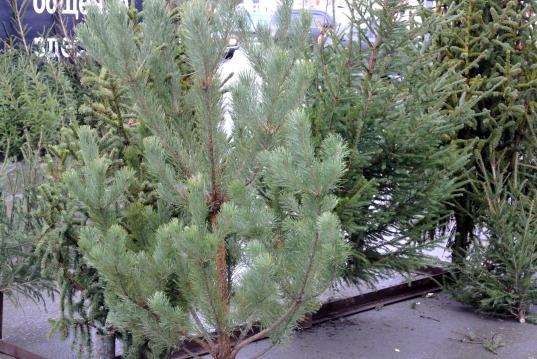Ёлочные базары в Вологде откроются 21 декабря