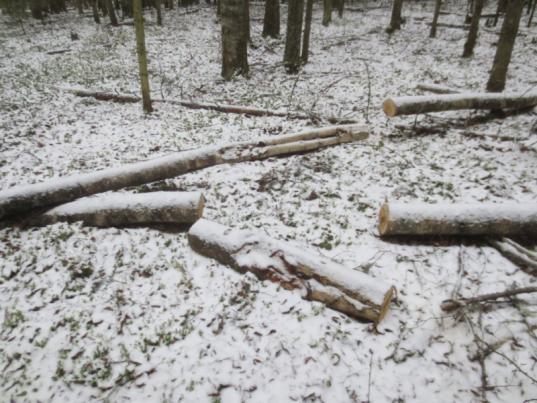 Житель Бабаевского района незаконно вырубил 40 деревьев для заготовки чаги