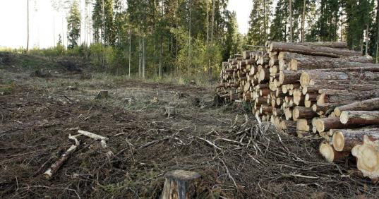 В Великоустюгском районе глава поселения разрешил незаконно вырубить лес на 35,7 млн рублей
